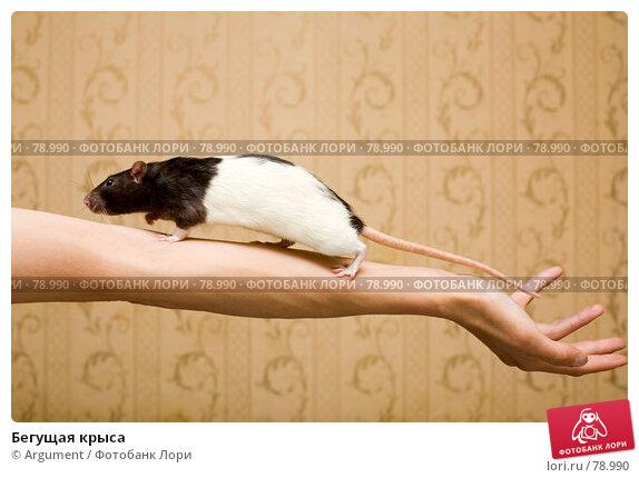 Бегущая крыса, фото № 78990, снято 2 сентября 2007 г. (c) Argument / Фотобанк Лори