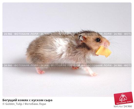 Бегущий хомяк с куском сыра, фото № 24966, снято 18 марта 2007 г. (c) Golden_Tulip / Фотобанк Лори
