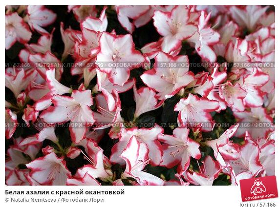 Купить «Белая азалия с красной окантовкой», эксклюзивное фото № 57166, снято 7 апреля 2007 г. (c) Natalia Nemtseva / Фотобанк Лори