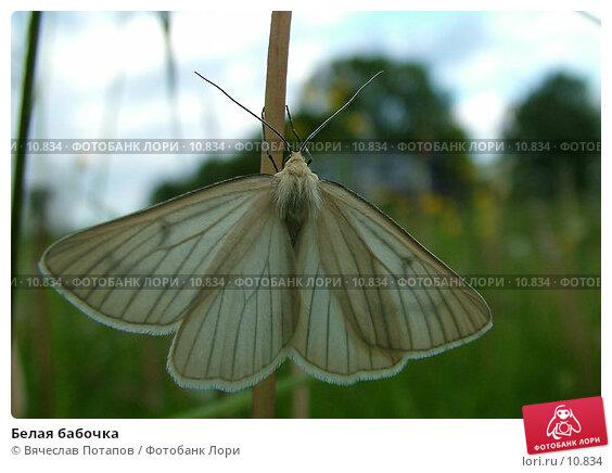 Белая бабочка , фото № 10834, снято 7 июня 2004 г. (c) Вячеслав Потапов / Фотобанк Лори