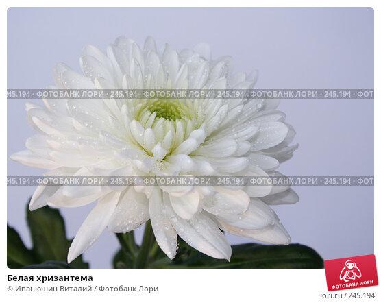 Белая хризантема, фото № 245194, снято 18 января 2017 г. (c) Иванюшин Виталий / Фотобанк Лори