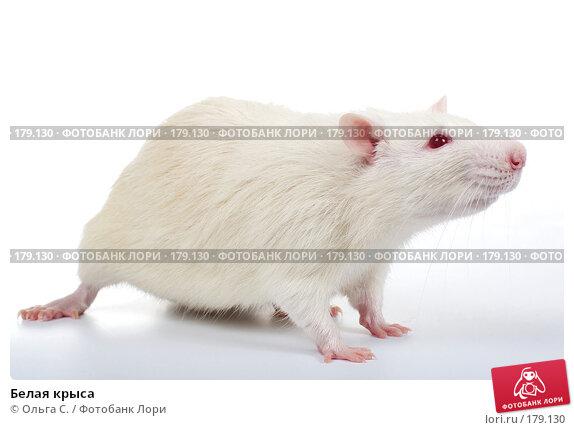 Белая крыса, фото № 179130, снято 29 ноября 2007 г. (c) Ольга С. / Фотобанк Лори