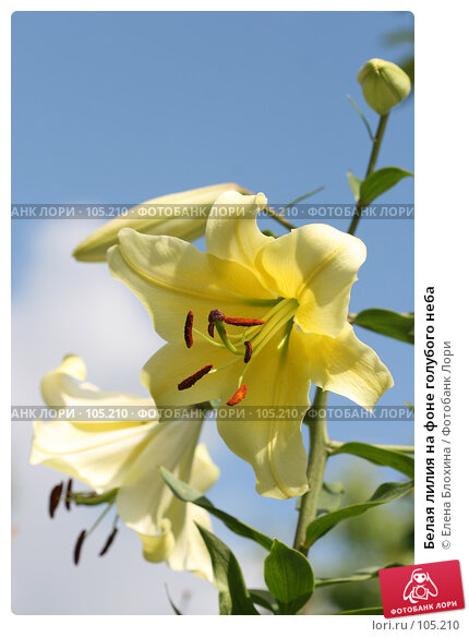 Купить «Белая лилия на фоне голубого неба», фото № 105210, снято 23 ноября 2017 г. (c) Елена Блохина / Фотобанк Лори