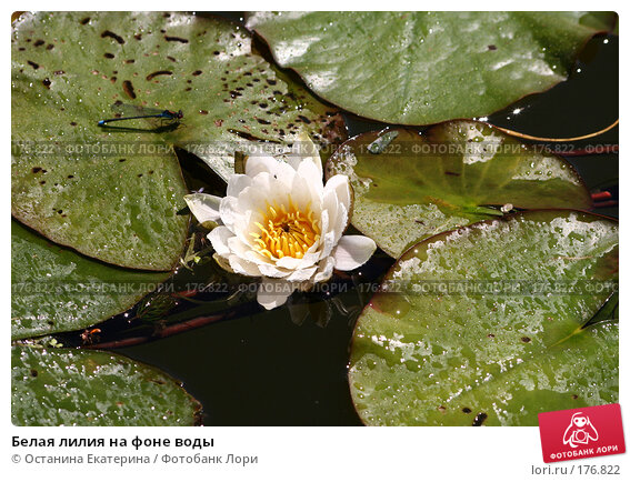 Белая лилия на фоне воды, фото № 176822, снято 24 июня 2007 г. (c) Останина Екатерина / Фотобанк Лори