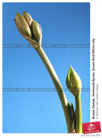 Белая Лилия, Зеленый Бутон, Green Bud White Lily, фото № 114378, снято 7 апреля 2007 г. (c) Astroid / Фотобанк Лори