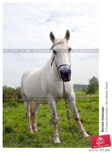 Белая лошадь, фото № 311894, снято 29 мая 2008 г. (c) Елена Блохина / Фотобанк Лори