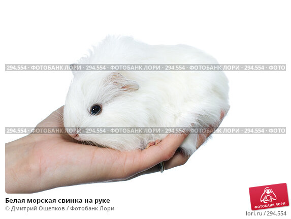 Белая морская свинка на руке, фото № 294554, снято 20 мая 2008 г. (c) Дмитрий Ощепков / Фотобанк Лори