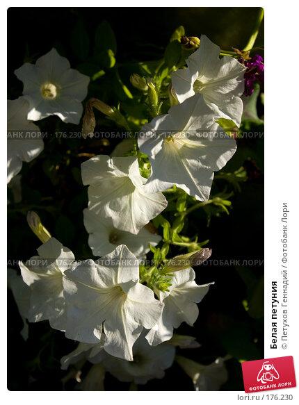 Белая петуния, фото № 176230, снято 23 июня 2007 г. (c) Петухов Геннадий / Фотобанк Лори