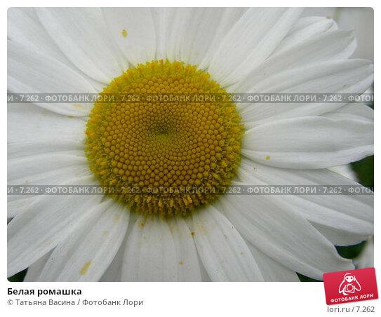 Купить «Белая ромашка», фото № 7262, снято 12 июня 2006 г. (c) Татьяна Васина / Фотобанк Лори