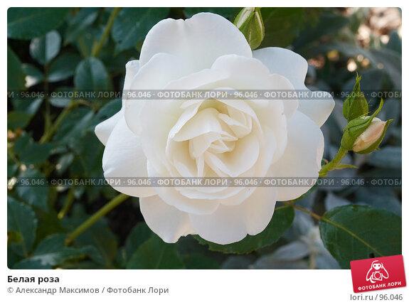 Белая роза, фото № 96046, снято 28 июня 2006 г. (c) Александр Максимов / Фотобанк Лори