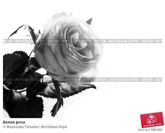 Белая роза, фото № 189930, снято 14 января 2008 г. (c) Морозова Татьяна / Фотобанк Лори
