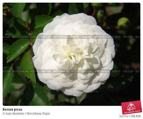 Белая роза, фото № 198838, снято 20 июля 2007 г. (c) Василий Каргандюм / Фотобанк Лори
