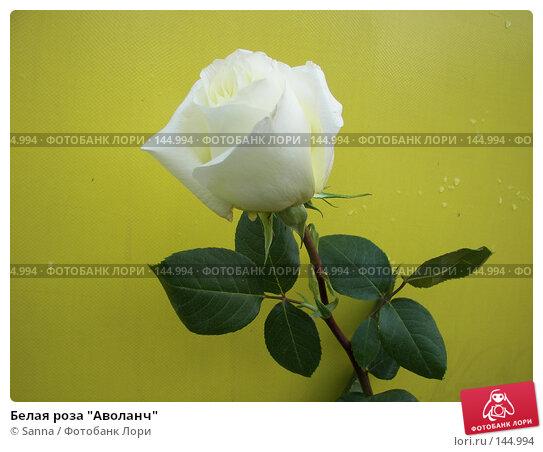 "Белая роза ""Аволанч"", фото № 144994, снято 7 сентября 2007 г. (c) Sanna / Фотобанк Лори"