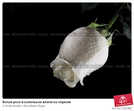Купить «Белая роза в капельках влаги на чёрном», фото № 222002, снято 19 марта 2018 г. (c) Kribli-Krabli / Фотобанк Лори