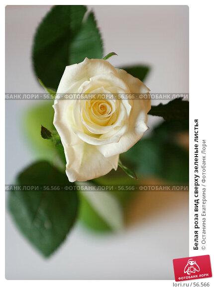 Белая роза вид сверху зеленые листья, фото № 56566, снято 13 октября 2006 г. (c) Останина Екатерина / Фотобанк Лори