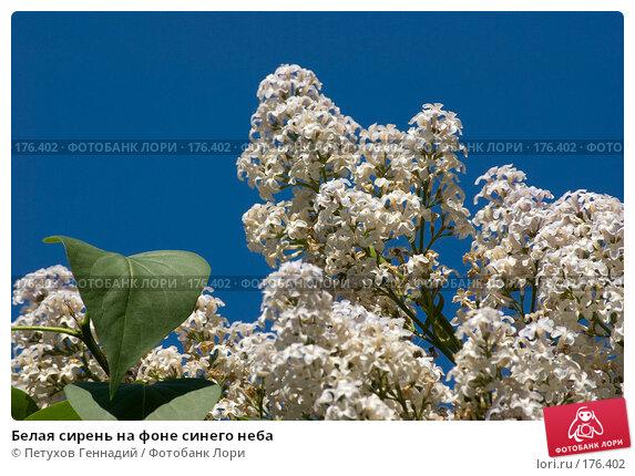 Белая сирень на фоне синего неба, фото № 176402, снято 26 мая 2007 г. (c) Петухов Геннадий / Фотобанк Лори