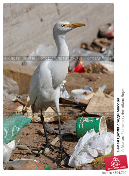 Белая цапля среди мусора, фото № 304710, снято 24 января 2008 г. (c) Максим Горпенюк / Фотобанк Лори
