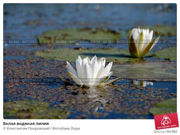 Белая водяная лилия, фото № 60982, снято 9 июня 2007 г. (c) Константин Покровский / Фотобанк Лори