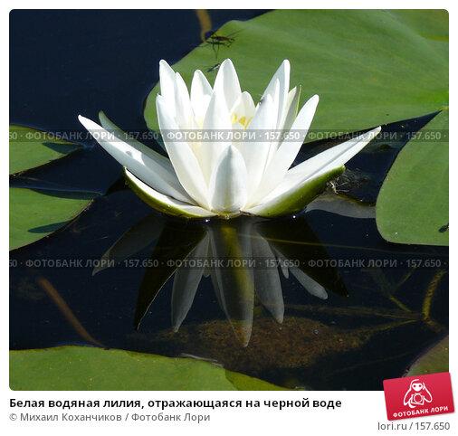 Белая водяная лилия, отражающаяся на черной воде, фото № 157650, снято 1 сентября 2007 г. (c) Михаил Коханчиков / Фотобанк Лори