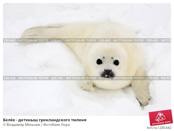 Белёк - детеныш гренландского тюленя, фото № 230642, снято 11 марта 2008 г. (c) Владимир Мельник / Фотобанк Лори