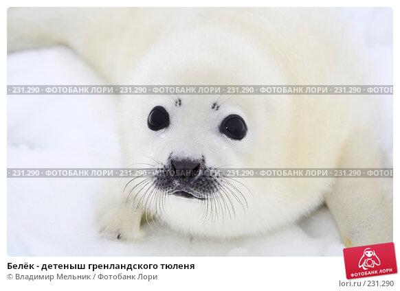 Белёк - детеныш гренландского тюленя, фото № 231290, снято 11 марта 2008 г. (c) Владимир Мельник / Фотобанк Лори