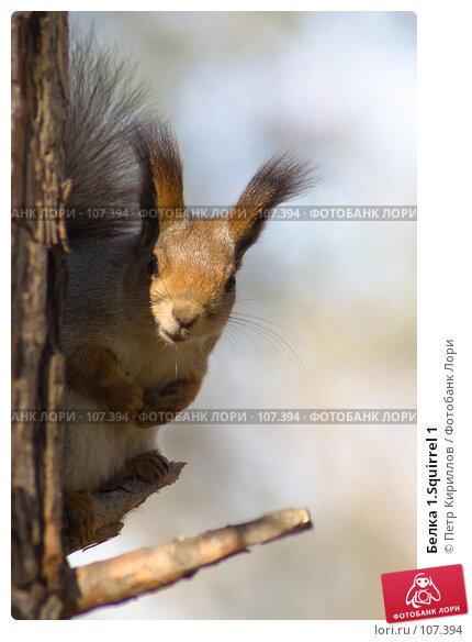 Белка 1.Squirrel 1, фото № 107394, снято 20 октября 2007 г. (c) Петр Кириллов / Фотобанк Лори