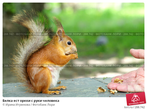 Купить «Белка ест орехи с руки человека», фото № 288742, снято 19 апреля 2018 г. (c) Ирина Игумнова / Фотобанк Лори