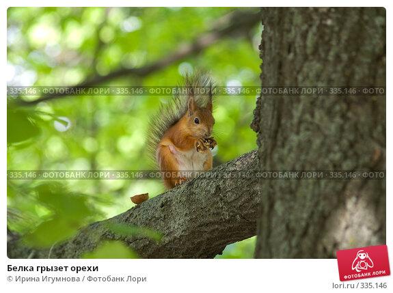 Белка грызет орехи, фото № 335146, снято 8 июня 2008 г. (c) Ирина Игумнова / Фотобанк Лори