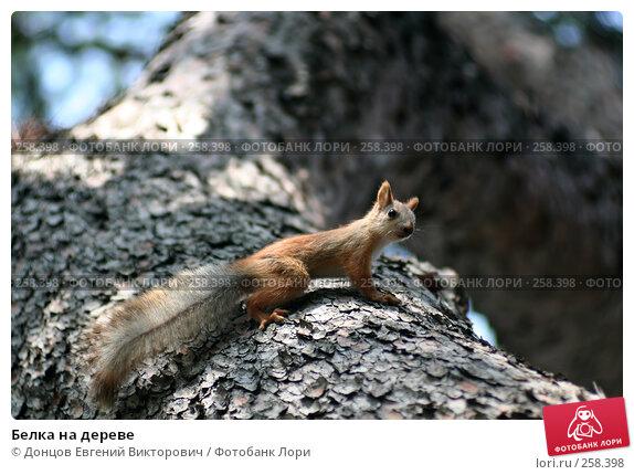 Белка на дереве, фото № 258398, снято 3 августа 2006 г. (c) Донцов Евгений Викторович / Фотобанк Лори