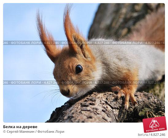 Белка на дереве. Стоковое фото, фотограф Сергей Манекин / Фотобанк Лори