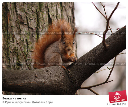 Купить «Белка на ветке», фото № 195470, снято 30 ноября 2006 г. (c) Ирина Борсученко / Фотобанк Лори