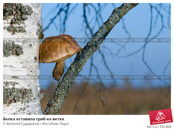 Белка оставила гриб на ветке, фото № 152806, снято 30 сентября 2007 г. (c) Алексей Судариков / Фотобанк Лори
