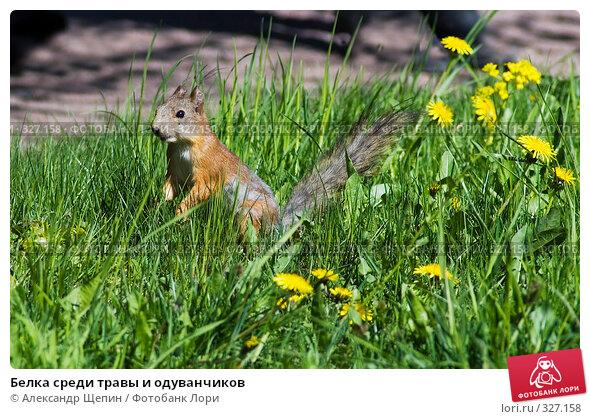 Белка среди травы и одуванчиков, эксклюзивное фото № 327158, снято 16 мая 2008 г. (c) Александр Щепин / Фотобанк Лори