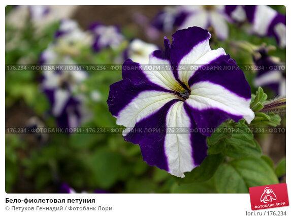 Бело-фиолетовая петуния, фото № 176234, снято 30 июня 2007 г. (c) Петухов Геннадий / Фотобанк Лори