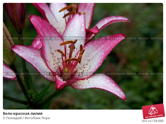 Бело-красная лилия, фото № 59690, снято 7 июля 2007 г. (c) Геннадий / Фотобанк Лори