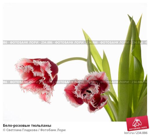 Бело-розовые тюльпаны, фото № 234886, снято 24 марта 2017 г. (c) Cветлана Гладкова / Фотобанк Лори