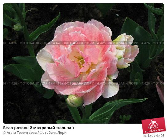 Бело-розовый махровый тюльпан, фото № 4426, снято 21 мая 2006 г. (c) Агата Терентьева / Фотобанк Лори