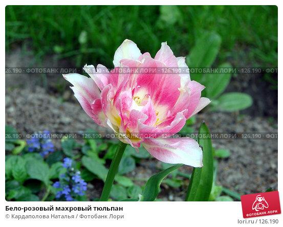 Бело-розовый махровый тюльпан, фото № 126190, снято 31 мая 2007 г. (c) Кардаполова Наталья / Фотобанк Лори