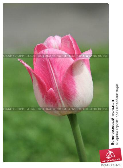 Бело-розовый тюльпан, эксклюзивное фото № 4326, снято 29 мая 2006 г. (c) Ирина Терентьева / Фотобанк Лори