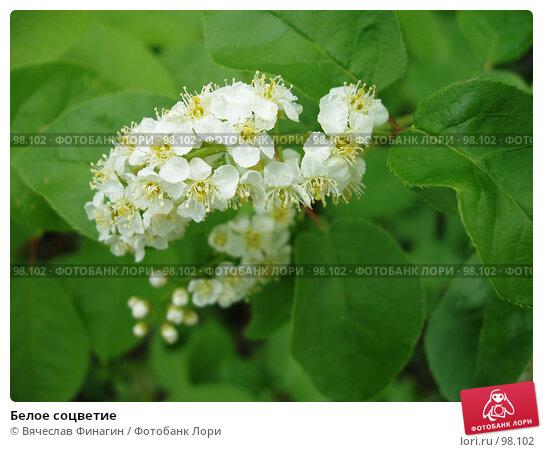 Белое соцветие, фото № 98102, снято 23 мая 2004 г. (c) Вячеслав Финагин / Фотобанк Лори