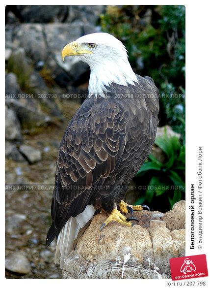 Белоголовый орлан, фото № 207798, снято 11 сентября 2004 г. (c) Владимир Воякин / Фотобанк Лори
