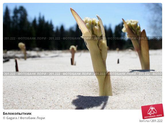 Купить «Белокопытник», фото № 201222, снято 1 мая 2006 г. (c) Gagara / Фотобанк Лори