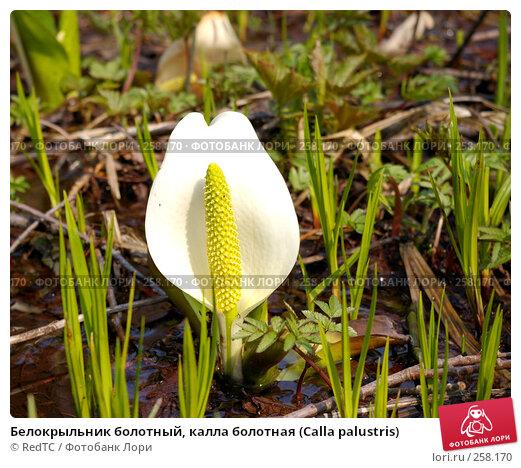 Белокрыльник болотный, калла болотная (Calla palustris), фото № 258170, снято 21 апреля 2008 г. (c) RedTC / Фотобанк Лори