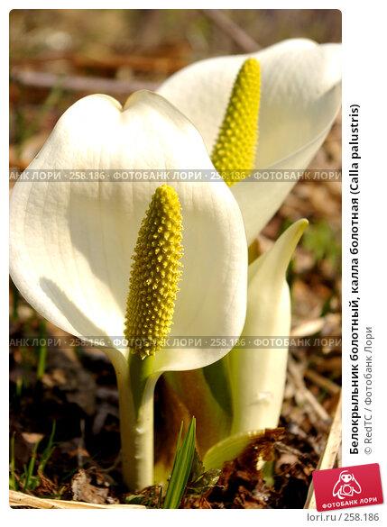 Белокрыльник болотный, калла болотная (Calla palustris), фото № 258186, снято 21 апреля 2008 г. (c) RedTC / Фотобанк Лори