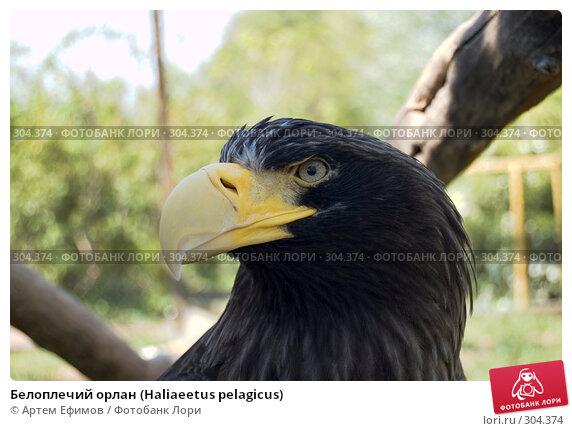 Белоплечий орлан (Haliaeetus pelagicus), фото № 304374, снято 4 мая 2008 г. (c) Артем Ефимов / Фотобанк Лори