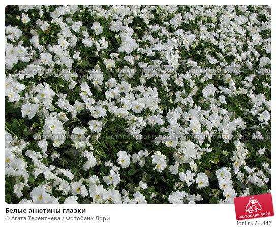 Белые анютины глазки, фото № 4442, снято 21 мая 2006 г. (c) Агата Терентьева / Фотобанк Лори