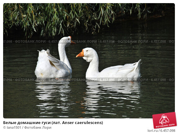 Купить «Белые домашние гуси (лат. Anser caerulescens)», эксклюзивное фото № 6457098, снято 27 сентября 2014 г. (c) lana1501 / Фотобанк Лори