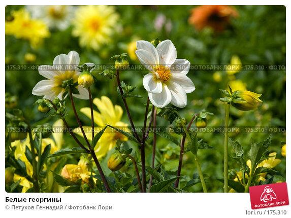 Купить «Белые георгины», фото № 175310, снято 23 июля 2007 г. (c) Петухов Геннадий / Фотобанк Лори