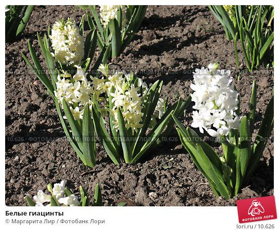 Белые гиацинты, фото № 10626, снято 8 мая 2006 г. (c) Маргарита Лир / Фотобанк Лори