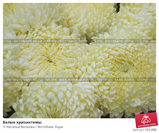 Купить «Белые хризантемы», фото № 103098, снято 17 марта 2018 г. (c) Наталья Волкова / Фотобанк Лори